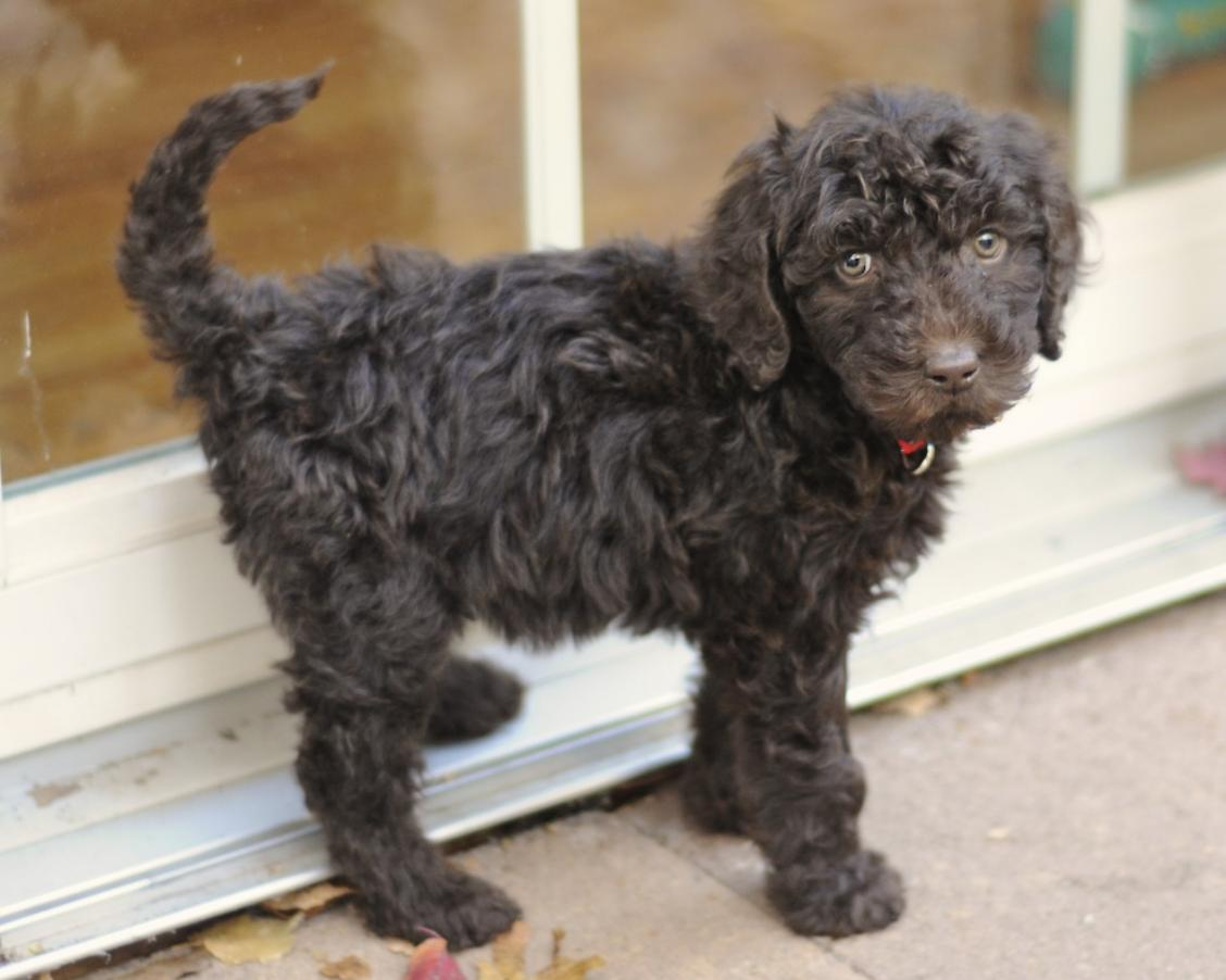 New Mom To Chocolate Labradoodle Pup Labradoodle Forums