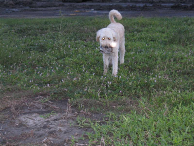 Are Goldendoodles Good Hunting Dogs