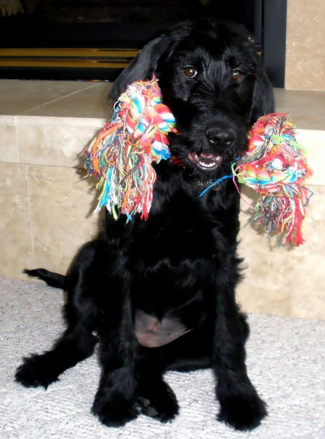 Puppy Weight Update And Comparison Page 5 Labradoodle Forums